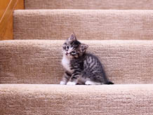 Kitten on carpeted stairs.